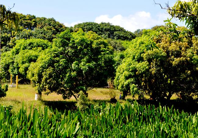 oro verde mango plantation